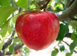 en Kolay Elma nasıl yetiştirilir