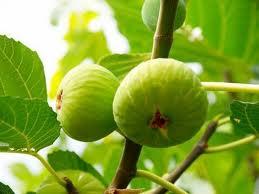 en Kolay incir nasıl yetiştirilir
