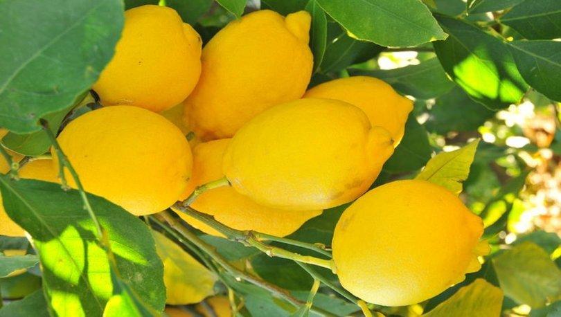 en Kolay Limon nasıl yetiştirilir