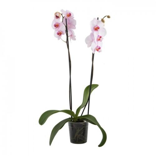 en Kolay Orkide nasıl yetiştirilir